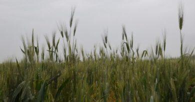 Campo di Grano, foto CREA
