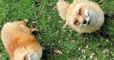 """Le volpi del centro """"Save a Fox"""""""