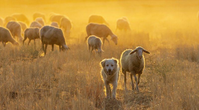 Pecore, Foto di john Ioannidis da Pixabay